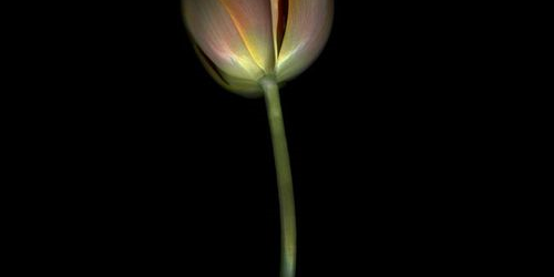 Michael James O'Brien     ''Lale'nin Rejenerasyonu/ ''Tulip Regeneration''
